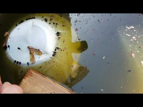 Koi babies and toad babies 2016 part 1