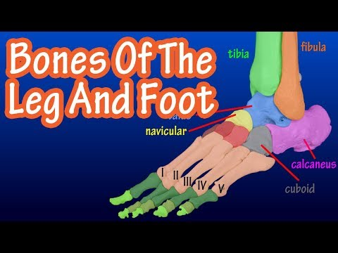Bones Of The Legs And Feet - Bones Of The Lower Body - How Many Bones In The Foot