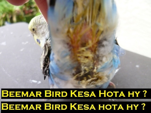 Budgies Common Diseases and their Symptoms - Tips to Judge a Sick Bird