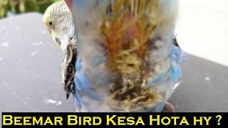 budgies parrot kay green motion ka ilaj - PakVim net HD