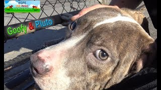 Homeless Pit Bull brothers, Goofy and Pluto almost got away from us!!!  PHEW!!!