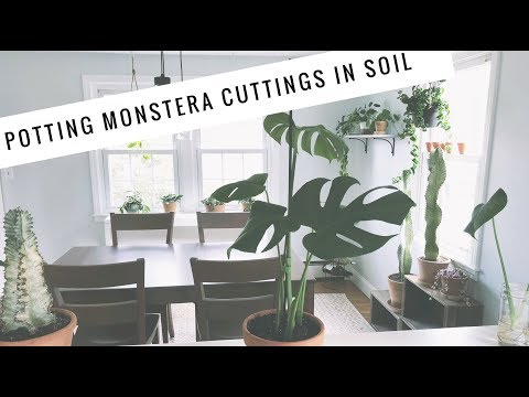 Potting Monstera Propagations in Soil! | easy care house plants