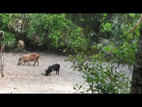 Florida Hog Bow Hunt