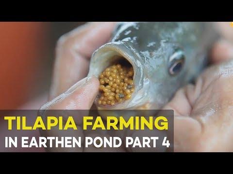 Tilapia Farming in Earthen Pond 2017 Part 4 : Tilapia Pond Based  Hatchery | Agribusiness