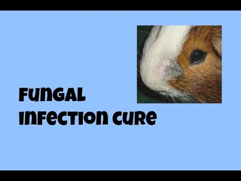 How to Cure a Fungal Infection in Guinea Pigs