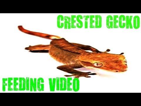 CRESTED GECKO LIVE FEEDING