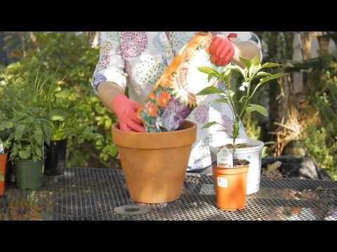 How to Grow Jalapenos in a Pot : Garden Space