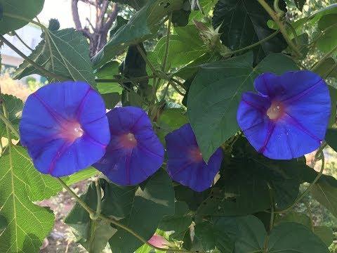 Growing Morning Glory from seeds II Gardening Arts