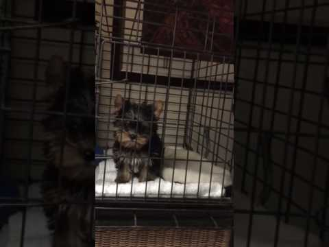 Yorkie Journey first night home