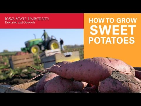 How to Grow and Harvest Sweet Potatoes