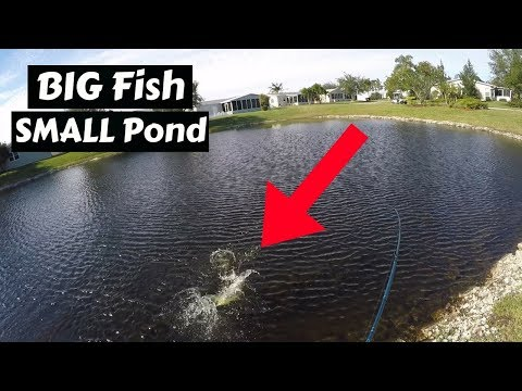GIANT Fish Caught in a TINY Pond!!