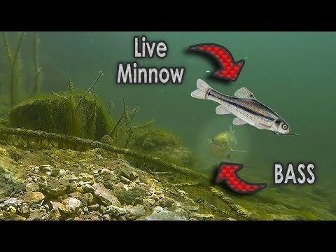 Do Bass Actually Eat Minnows??   GoPro Live Shad Footage