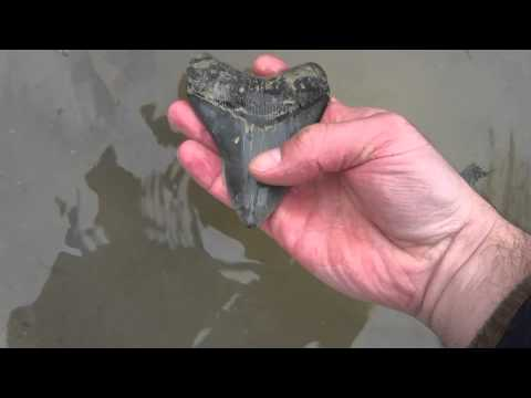 Another Successful Megalodon Tooth Hunt in South Carolina