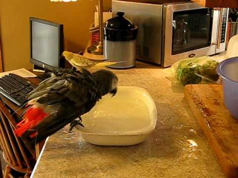 Parrot Bath Time