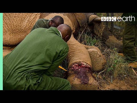 Xxx Mp4 Elephant Needs Life Saving Surgery After Being Caught In A Snare BBC Earth 3gp Sex
