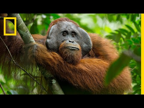 Xxx Mp4 A Rare Look At The Secret Life Of Orangutans Short Film Showcase 3gp Sex