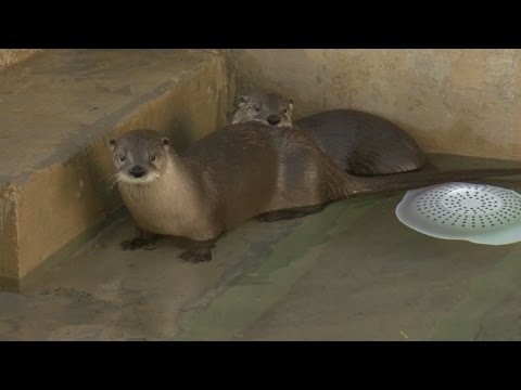 Meet the River Otters living at the Albuquerque BioPark