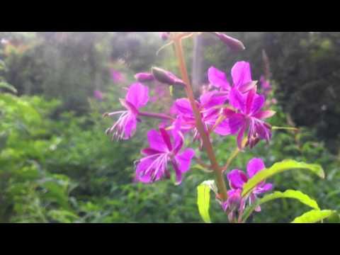 Fireweed (Epilobium Angustifolium) / Great Willow-herb - 2012-07-18