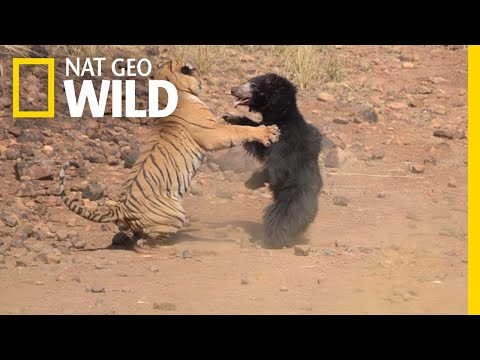 Xxx Mp4 Mother Bear Fights Tiger To Save Her Cub In Dramatic Video Nat Geo Wild 3gp Sex