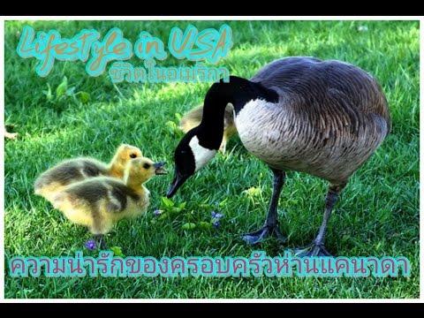 มาดูความน่ารักของครอบครัวห่านแคนาดาได้ที่ Lifestyle in USA