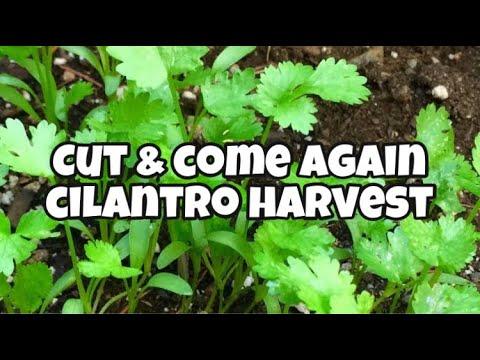 How to Harvest Cilantro- Cut and Come Again Cilantro