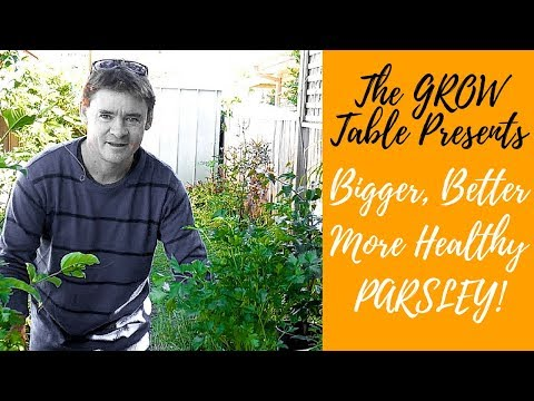 How to Grow Lush Healthy Parsley at Home Plus Simple Italian Recipe