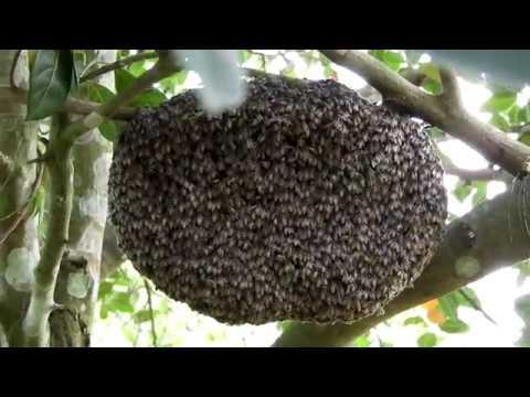 My apis florea apiary | The dwarf bee method