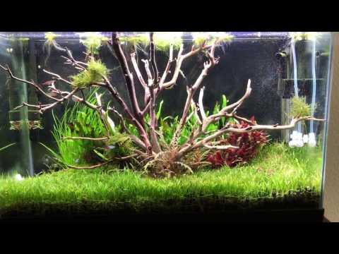 Tree aquascape using manzanita driftwood - dream tank come true!