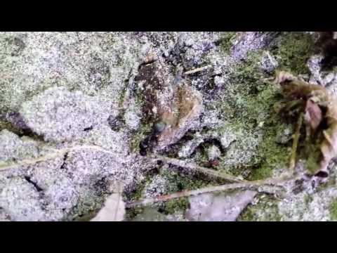 Copy of Mutant Carpenter Ant at Black Creek