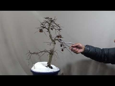 Only cutting the bonsai branches because freezing. Chinese persimmon bonsai.