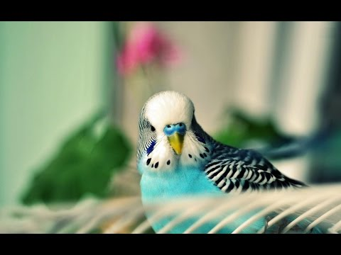 Calming Music For Birds || Budgies || Relaxing Music to Tame your Birds #2
