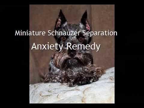 Miniature Schnauzer Separation Anxiety Remedy