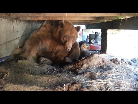 Watch a Man Confront a Brown Bear Napping Under His Deck