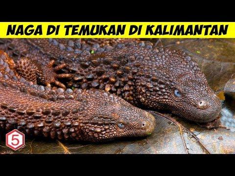 Xxx Mp4 Makhluk Menyerupai NAGA Di Temukan Hidup Di Kalimantan 3gp Sex