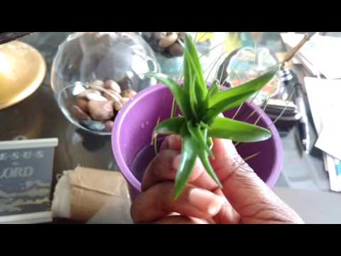 How to water air plants (tillandsia)