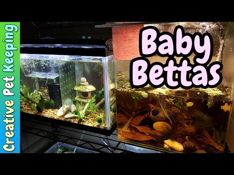 3 day old Baby Betta fish 👶 | Fish Fan Friday Vlog