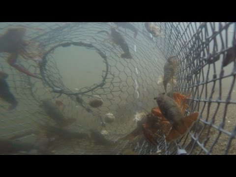Catching Crawfish - GoPro in Underwater Trap