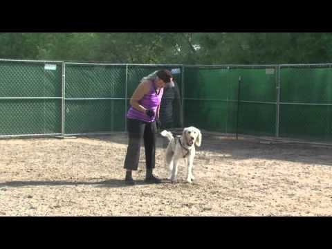 Citizen K9 Protection Dog Training Beth and Bensley (The Labradoodle)