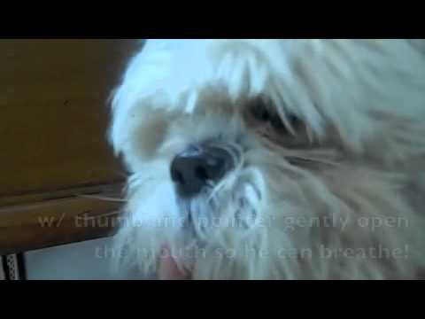 How to stop a dog's asthma attack