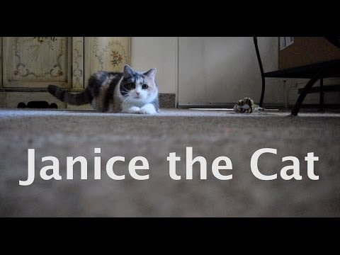 Janice the Cat chasing laser pointer
