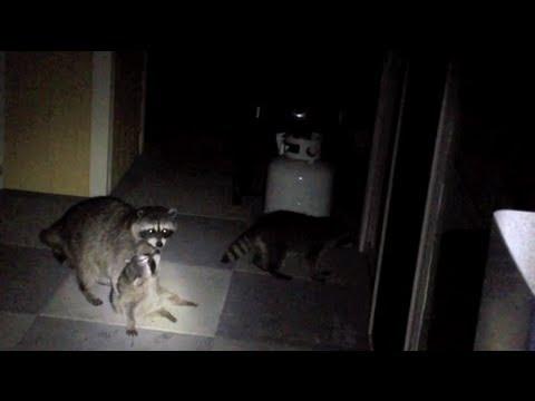 Raccoon Baby Cries