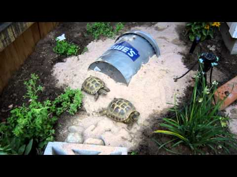 Russian Tortoises in outdoor micro habitat