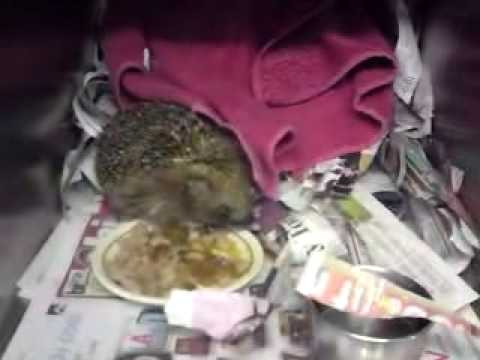 Hedgehog with skin condition tucking into lunch 01102009