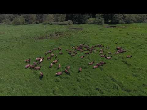 Elk at Dean creek. Phantom 4!