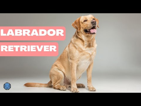 Dog Breed - Know About Labrador - Bhola Shola