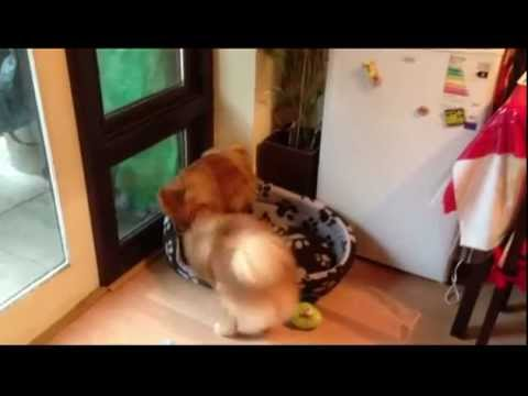 Cute Pomeranians are Playing.mp4