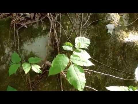 Poison Ivy and Poison Vine/Oak Identification