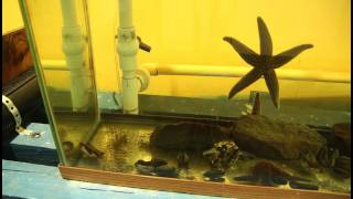 Starfish Eating Mussels - Timelapse