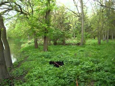 Tracking Dog - Oliver - Cocker Spaniel 04-16-12.MOV