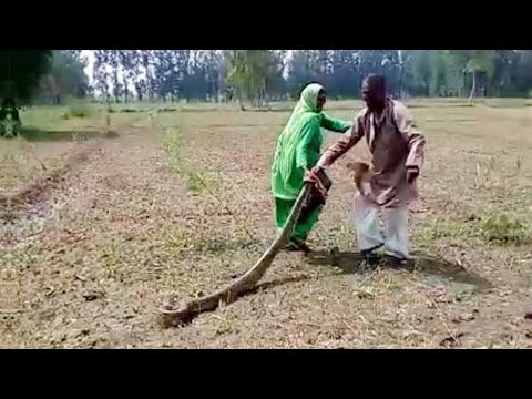 UP Woman catches huge python from fields in Meerut | Oneindia News